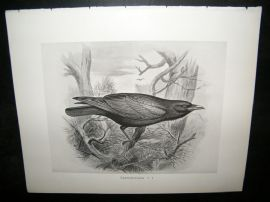 Frohawk 1898 Antique Bird Print. Carrion-Crow